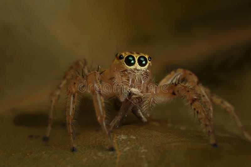 Araignée sautante avec la proie photos libres de droits