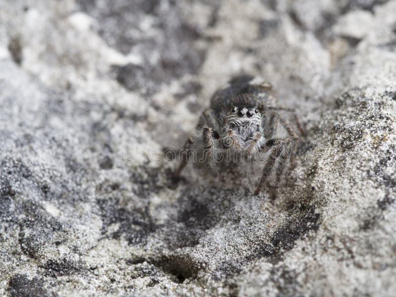 Araignée sautante, chrysops de Philaeus images libres de droits