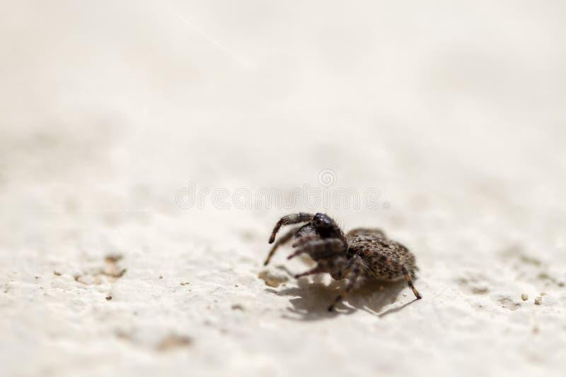 Araign?e sautante de Brown marchant sur un wal photographie stock