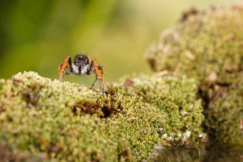 Araignée sautante de plan rapproché, connue sous le nom de chrysops de Philaeus, sur le vert de mousse près de l'eau photos libres de droits