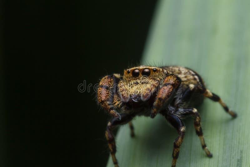 Araignée sautante en nature images stock