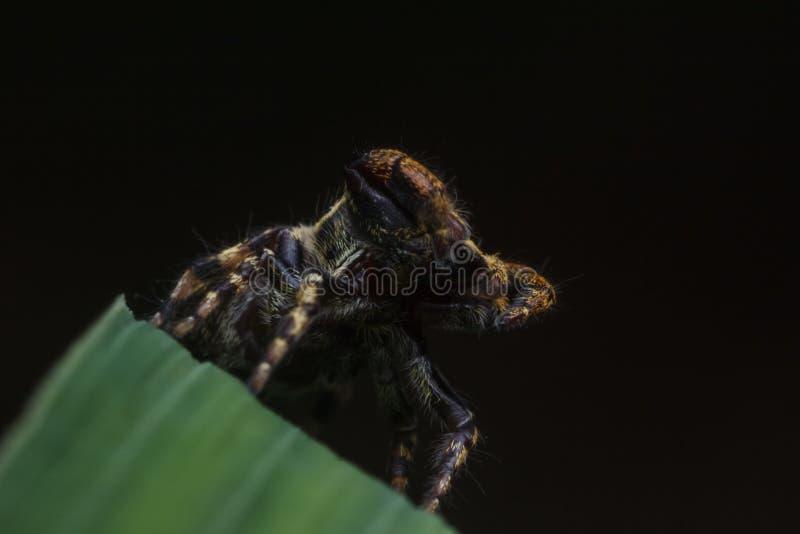 Araignée sautante en nature photographie stock libre de droits