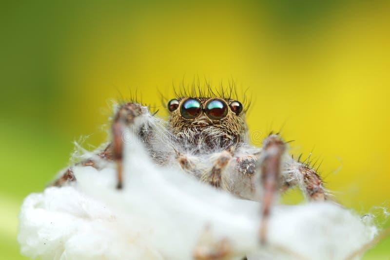Araignée sautante morte sur la ruche d'araignée avec le fond vert et jaune images stock