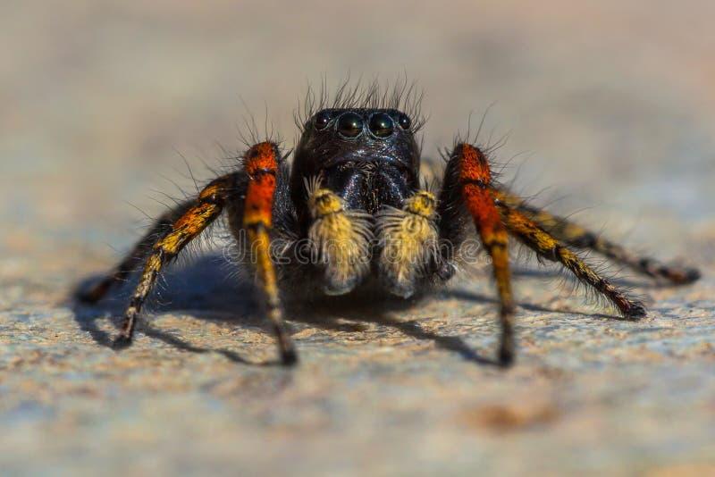 Araignée sautante rouge et noire photos libres de droits