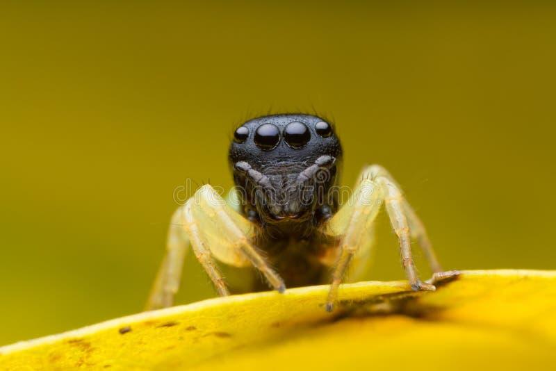 Araignée sautante sur la feuille jaune photo stock