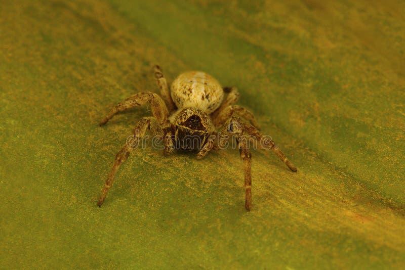 Araignée sociale du genre Stegodyphus qui vivent dans une colonie photo libre de droits