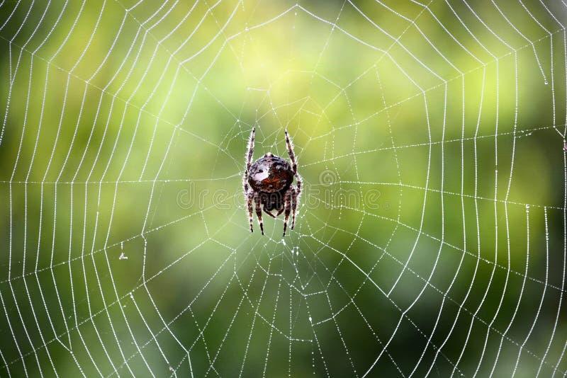 Araignée sud-africaine sur le Web photographie stock