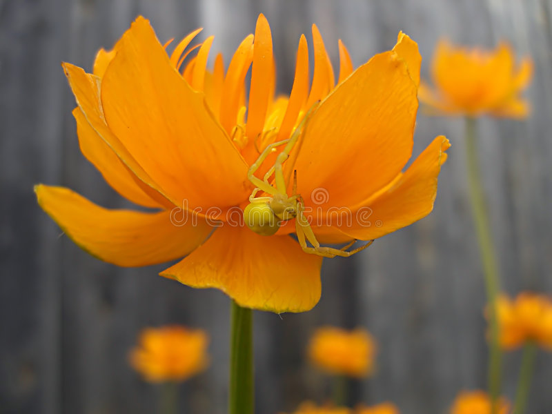 Araignée sur la fleur image stock