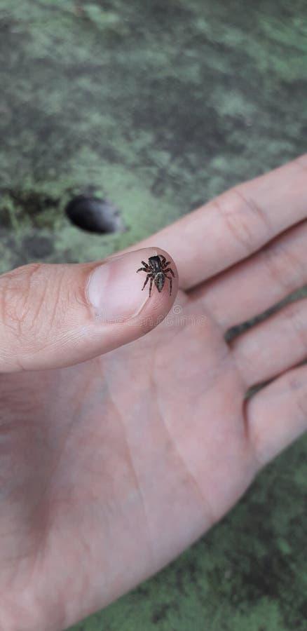 Araignée sur la main - gens du pays florest sur Itamatamirim, intérieur de pernambuco, Brésil images stock