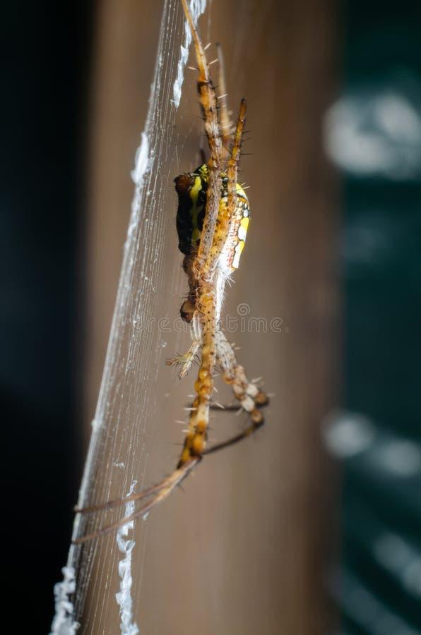 Araignée sur la toile d'araignée photos stock