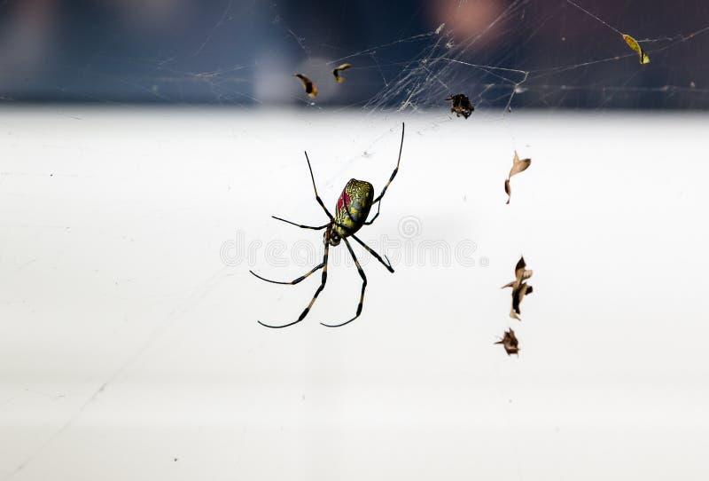 Araignée sur la toile d'araignée et le x28 ; cobweb& x29 ; photo libre de droits