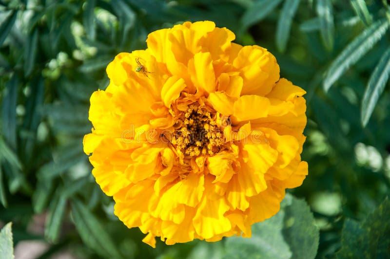 Araignée sur le chrysanthème jaune de fleur photographie stock
