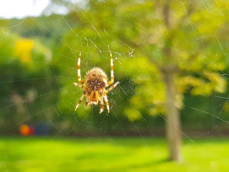 Araign?e sur le spider& x27 ; Web de s avec le paysage et le fond vert images stock
