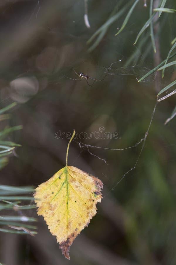 Araignée sur le Web en automne les bois de pin photos libres de droits