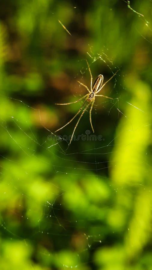 Araignée sur un Web avec de longues jambes sur le fond du plan rapproché vert de forêt image libre de droits