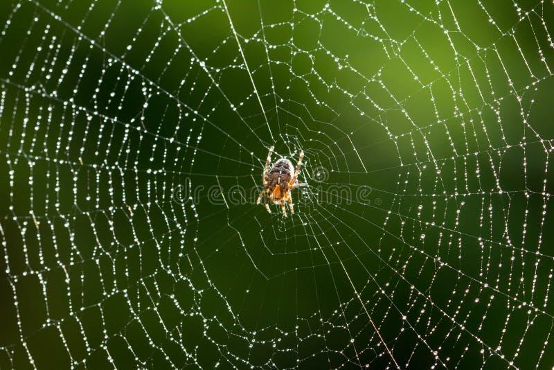 Araignée sur un Web humide photographie stock