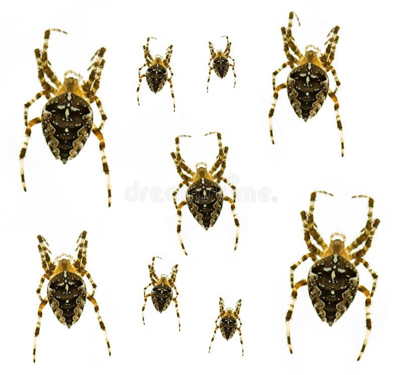 araignées en travers images stock
