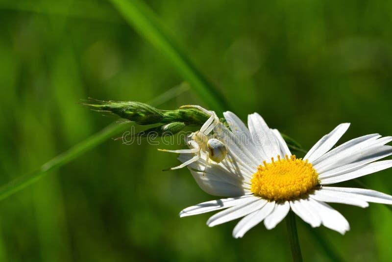 Araignées, insectes y fleurs de la forêt de Moulière ( Cierres de Les - La Grosse Boussée - La Fontaine Salée) foto de archivo libre de regalías