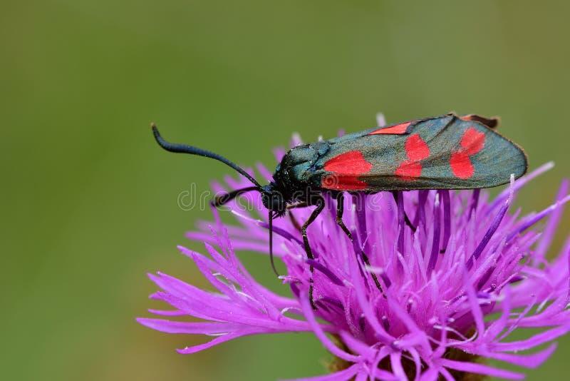 Araignées, insectes y fleurs de la forêt de Moulière ( Le Pinail - Ansozour - La Gassotte) foto de archivo