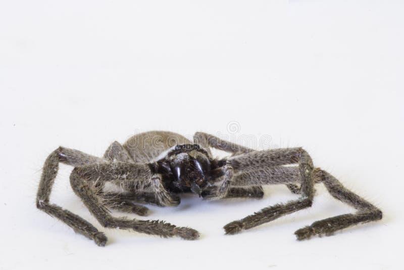 Araign?e de chasseur photos stock