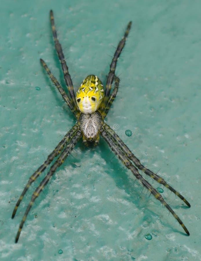 araign?e de Globe-tisserand image stock