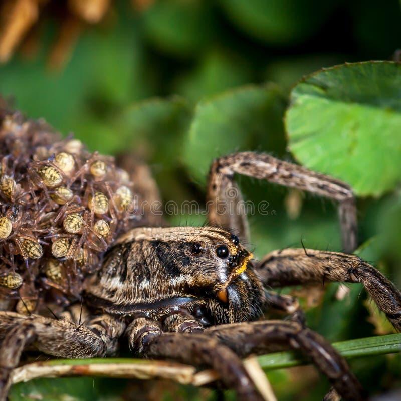 Araign?e de loup femelle avec des b?b?s image libre de droits