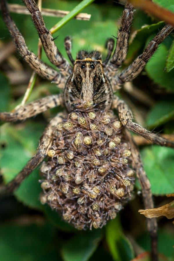 Araign?e de loup femelle avec des b?b?s photo stock