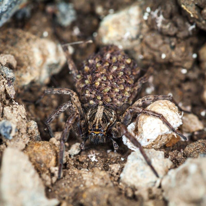 Araign?e de loup femelle avec des b?b?s images stock