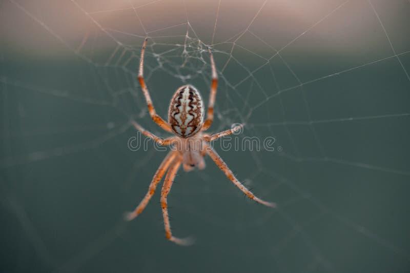 Araign?e sur le Web Le Web d'une araign?e contre le lever de soleil dans le domaine couvert embrume photo stock
