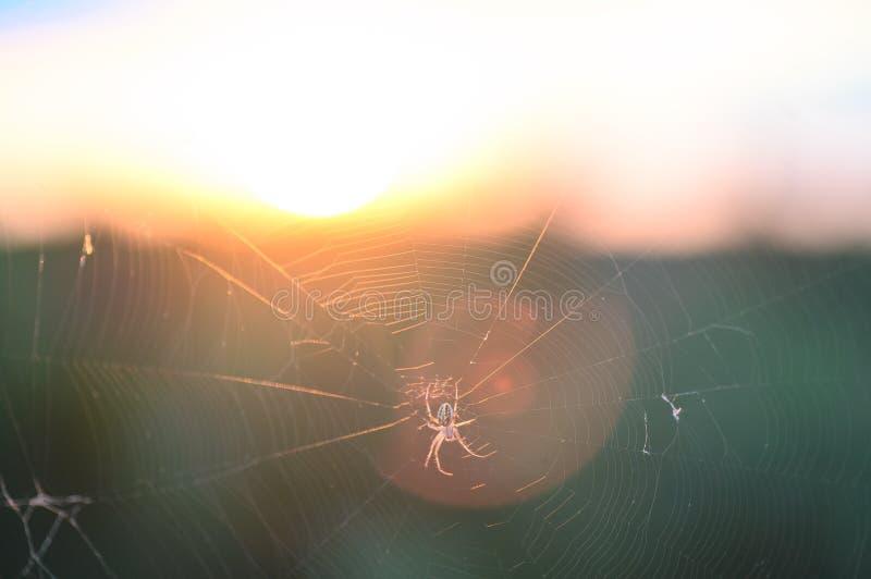 Araign?e sur le Web Le Web d'une araign?e contre le lever de soleil dans le domaine couvert embrume photo libre de droits