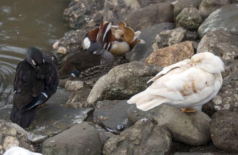 Ducks from Caraiman monastery. stock image
