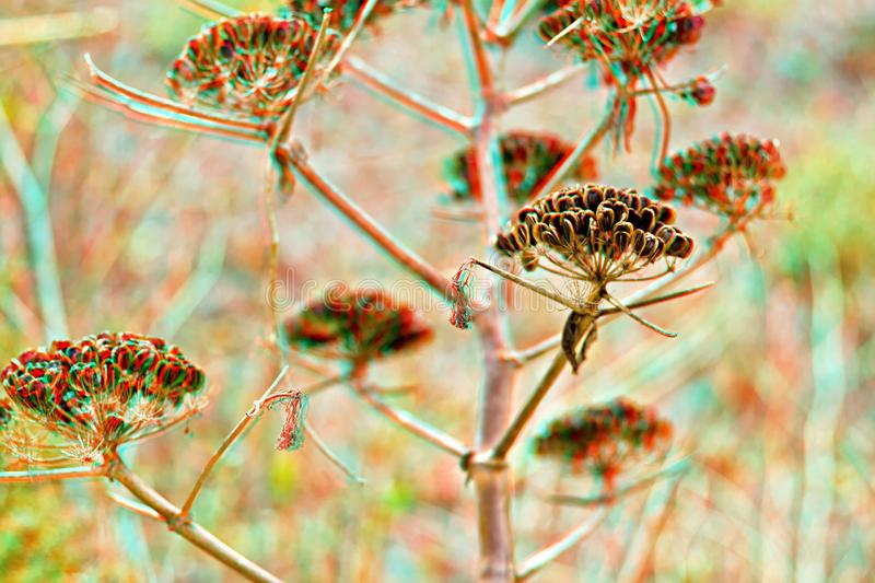 Aralia hispida - bristly sarsaparilla 3D stock photo