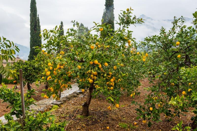 Arance di Frehs su un arancio (majorca) fotografie stock libere da diritti