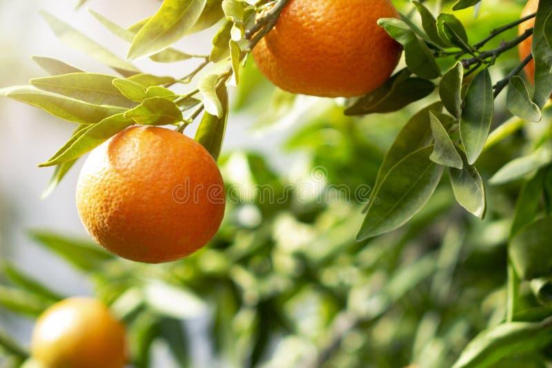 Arance o mandarini maturi che appendono su un albero Crescita di frutti succosa organica sana nel frutteto soleggiato fotografia stock libera da diritti