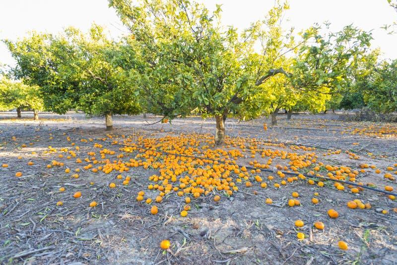 Download Aranci fotografia stock. Immagine di agricoltura, frutta - 56886848