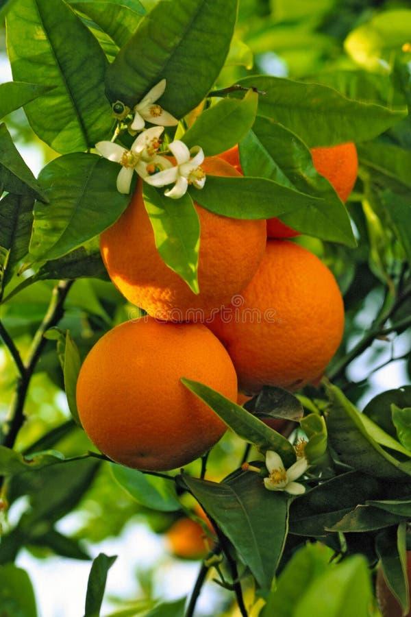 Aranci che crescono sull'albero fotografie stock libere da diritti