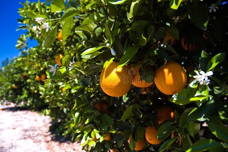 Aranci della Florida sull'albero immagine stock libera da diritti