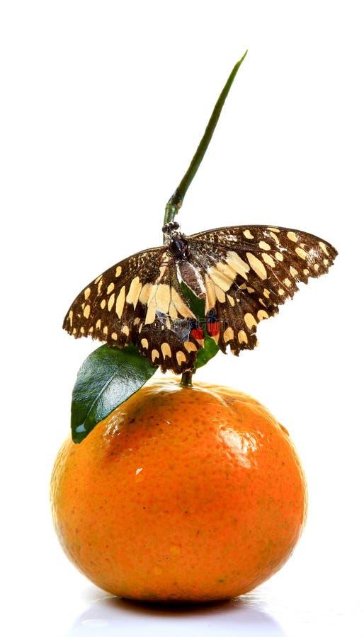 Arancia e farfalla immagini stock