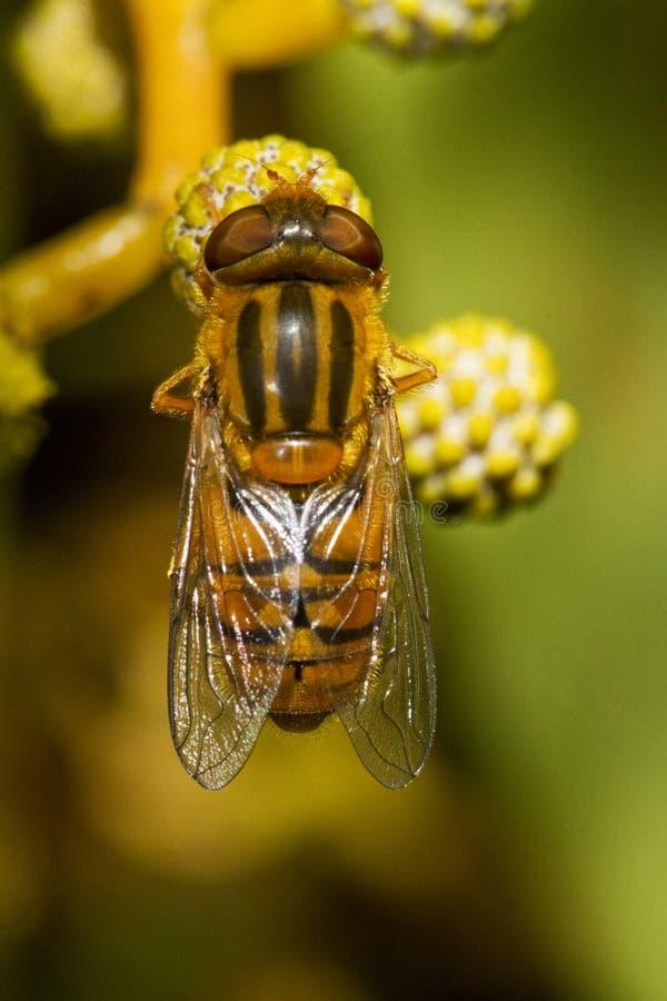 Download Arancia hoverfly immagine stock. Immagine di cute, polline - 30825063