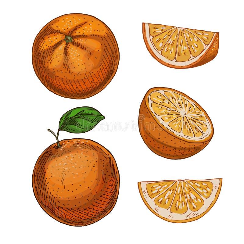 Arancia, insieme degli elementi Schizzo realistico di colore pieno royalty illustrazione gratis