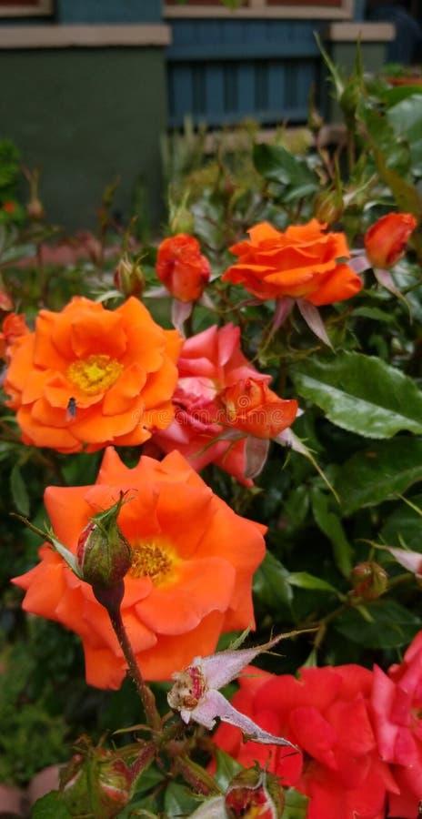Arancia voi un fiore felice fotografie stock libere da diritti