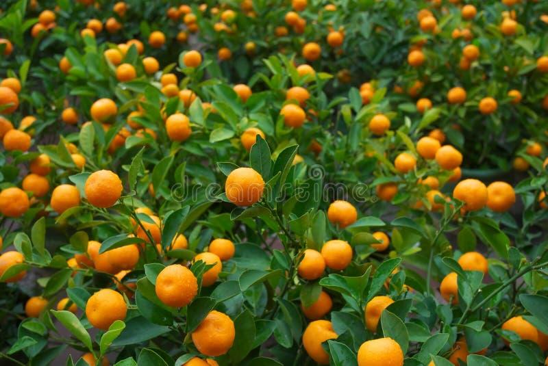 arancio cinese fotografie stock libere da diritti