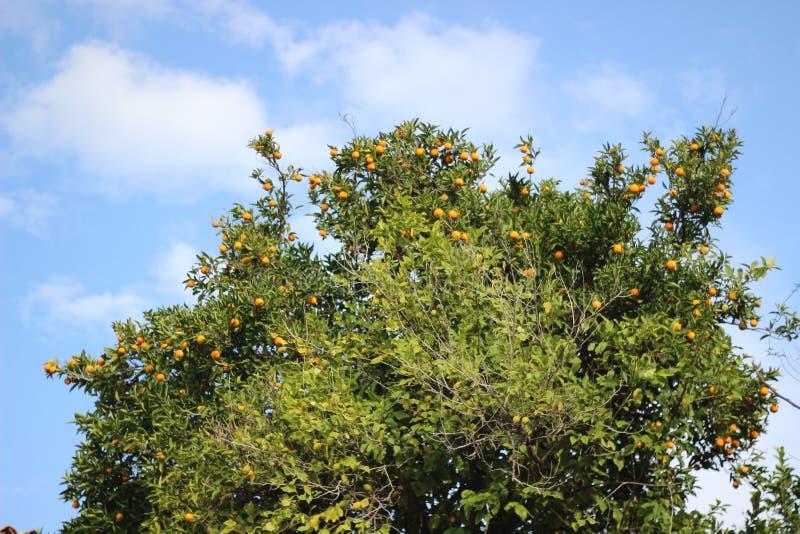 Arancio della patria in tacchino fotografie stock