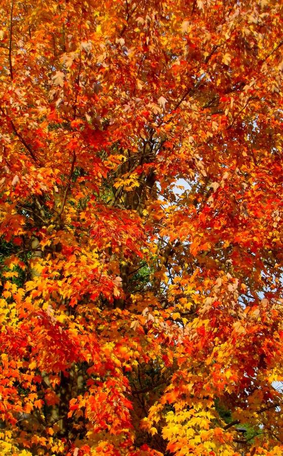 Arancio, giallo, rosso, pesca fra il verde fotografia stock