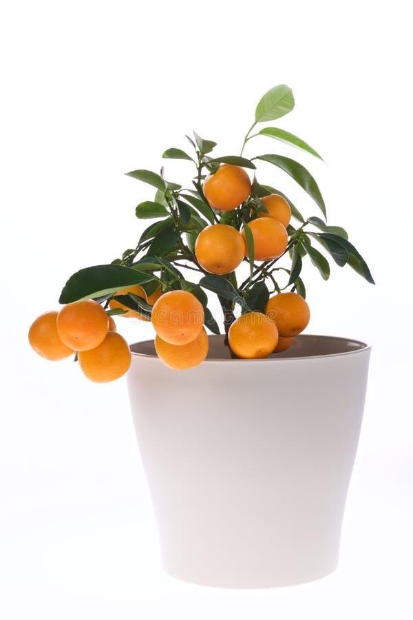 Arancio in vaso houseplant fotografia stock libera da diritti