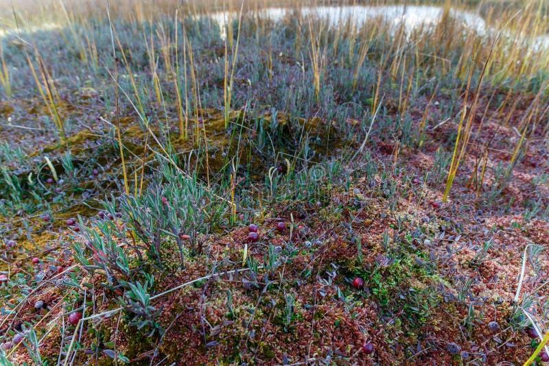 Arando selvagem no musgo, bagas imagem de stock royalty free