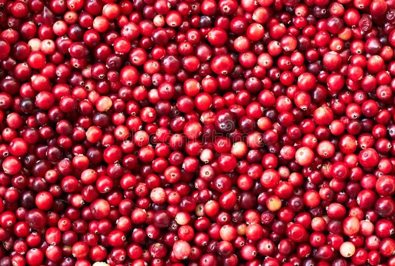 Arando, textura vermelha do fundo das bagas da floresta selvagem imagens de stock