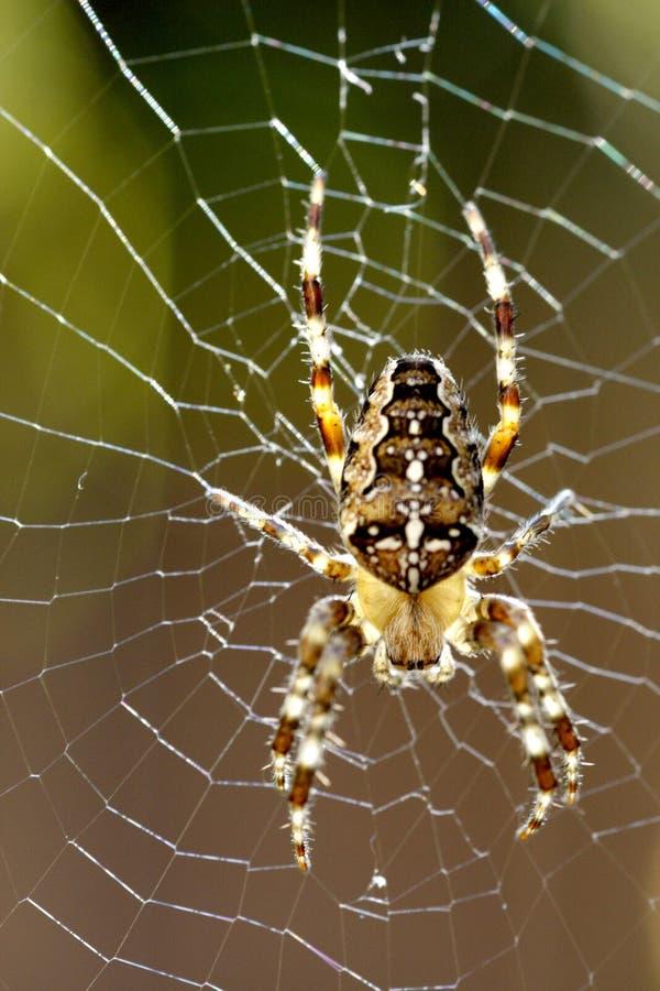 Araneus与背后照明的diadematus蜘蛛宏指令  库存照片