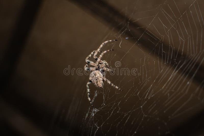 Araneus паука стоковые изображения