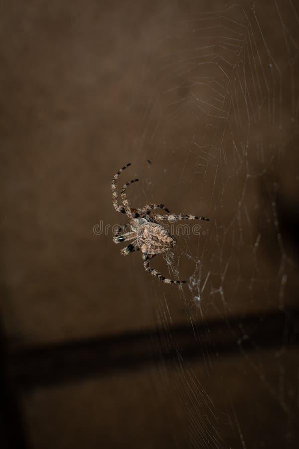 Araneus паука стоковая фотография